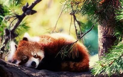 Panda Anime Wallpapers Pandas Backgrounds National Park