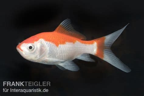 wie groß werden goldfische das kaltwasseraquarium und seine bewohner wie goldfische und biotopfische