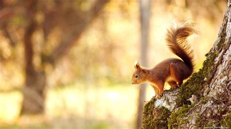 Animal Desktop Wallpaper Free - squirrel wallpapers hd pictures one hd wallpaper