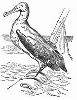 Albatross Drawing Bird Coloring Drawings Clip Reusableart Sketch Template Paintingvalley sketch template