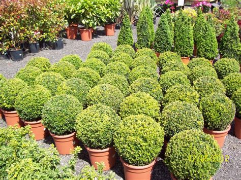 small evergreen shrubs visit for our latest prices