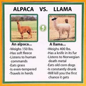 The 25+ best Alpaca vs llama ideas on Pinterest | Llama ...