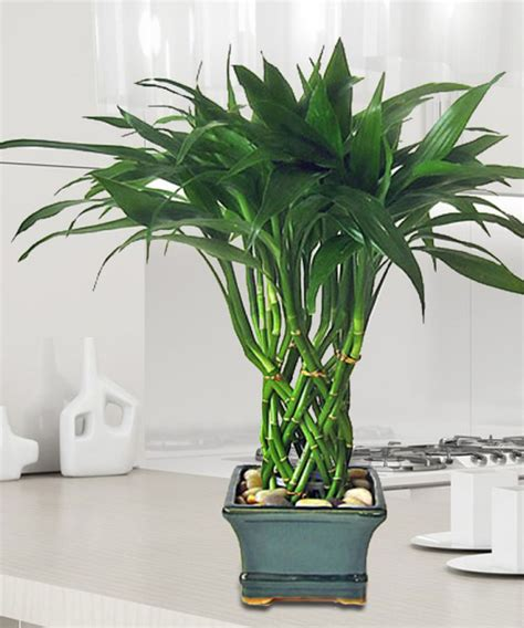 bambou en pot entretien entretien lucky bambou d interieur trendy image intitule take care of lucky bamboo step with