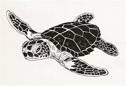 Turtle Drawings Sea Drawing Clipart Pencil Turtles