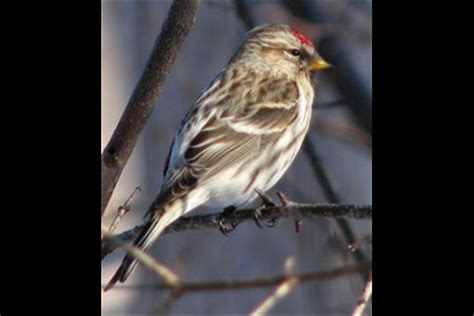 Observations Of Common Redpoll (carduelis Flammea