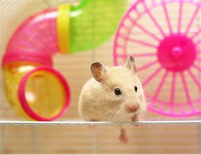 Hamster Cage Hamsters Pet Getting Comparison Goldhamster