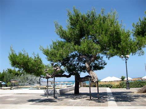 tips  growing  aleppo pine tree