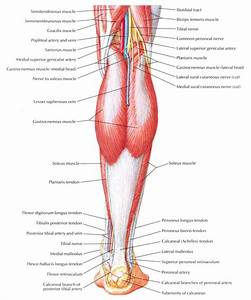 Human Anatomy Leg Muscles Diagram
