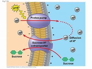 The Role Of Membrane Carbohydrates In Cell