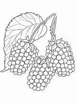 Coloring Blackberry Pages Printable Berries Fruits Blackberries Frutas Draw Verduras Doodle Flowers sketch template