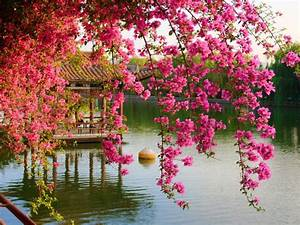 Pink, Spring, Flowers, In, The, Park, Chinese, Kunming, China, Hd