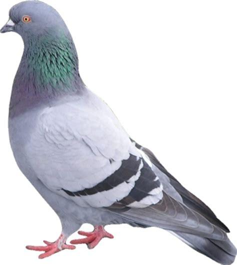 pigeon 02 photo