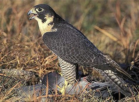 peregrine falcon handsome fast   traveled