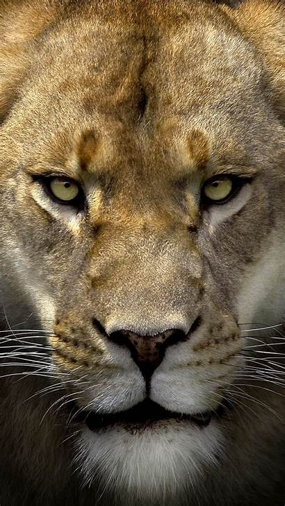Lion Face Iphone 6s Wallpapers Smartphone Yopriceville