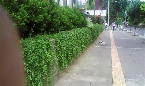 jual jual tanaman rambat menjuntailee kwan yew lapak