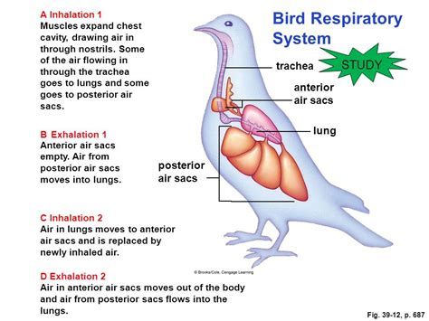annotated diagram of the respiratory system of a bird