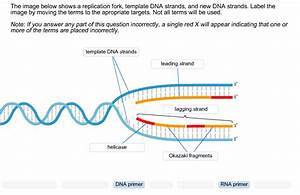 solved the image below shows a replication fork template With what is a template in dna