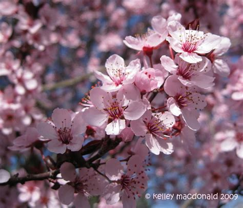 thundercloud purple leaf plum plantfiles pictures purple leaf plum purple cherry plum thundercloud prunus cerasifera by