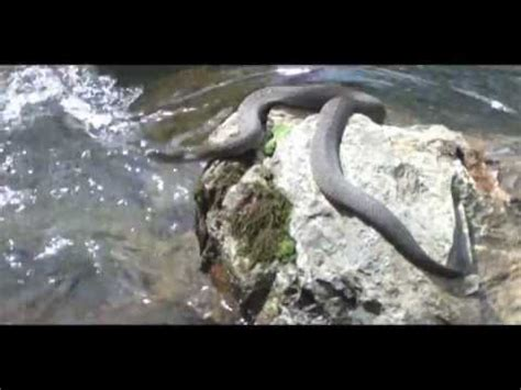 Northern Water Snake in The Poconos - YouTube