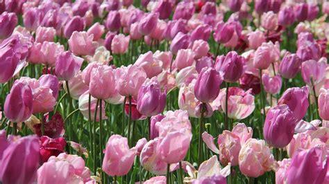 hd hintergrundbilder rosa blumen tulpen desktop hintergrund