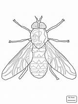 Fly Fruit Insect Firefly Drawing Insects Getdrawings Coloring Pages sketch template