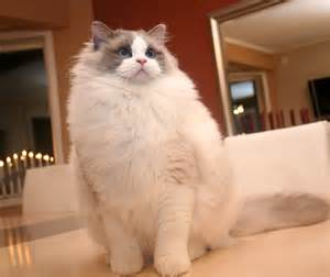 ragdoll cat for ragdoll cats species picture animals wiki