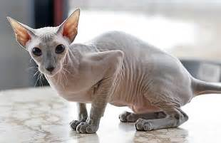 bald cat 6 strange breeds of hairless cats featured creature