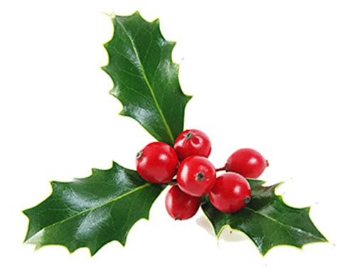 mistletoe is a tradition for what does a mistletoe look like search results calendar 2015
