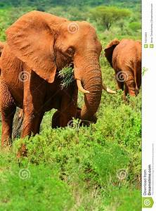 African Elephant In The Wild Stock Images - Image: 14375894