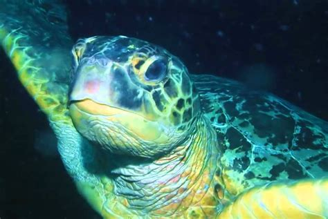 Sea Turtle Animated Wallpaper - sea turtle animated wallpaper http www desktopanimated