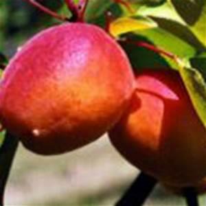 Taille De L Abricotier : orangered abricotier derly ~ Dode.kayakingforconservation.com Idées de Décoration