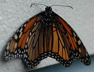 Monarch Butterfly 3D Model Download Page