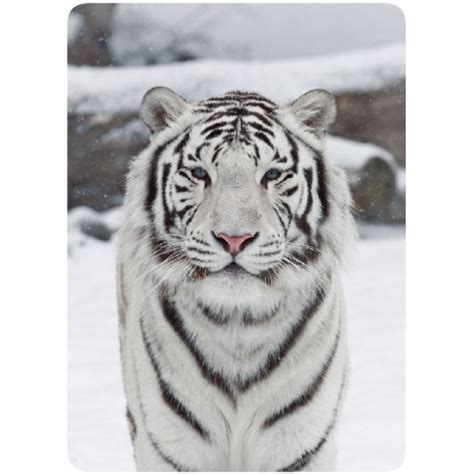 Sticker Cleaner Tigre Blanc Marcoeagle