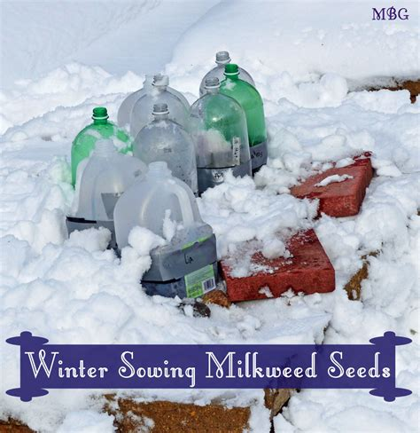 what is winter sowing winter sowing milkweed seeds part 2 step by step guide