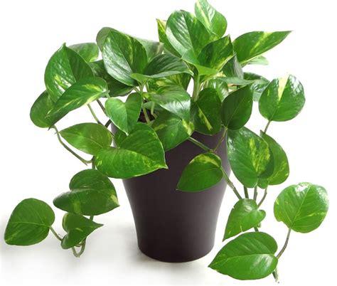 tanaman hias philo sirih jenis tanaman hias untuk percantik rumah anda satu jam