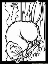 Beaver Coloring Pages Printable Coloringpagesforadult Animals Wood Colouring Beavers Mammals Getcoloringpages Angry sketch template