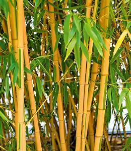 Bambus Pflege Zimmerpflanze : goldener peking bambus 1a qualit t baldur garten ~ Frokenaadalensverden.com Haus und Dekorationen