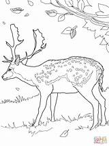 Deer Fallow Coloring Pages Printable sketch template