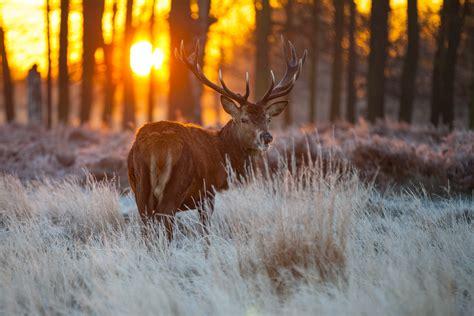 deer  ultra hd wallpaper  background image
