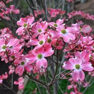 Cornus Florida Rubra : cornus florida rubra buy pink flowering dogwood trees shrubs ~ Frokenaadalensverden.com Haus und Dekorationen
