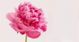 Spotlight on Peonies: Limited-Edition Blooms - ProFlowers Blog