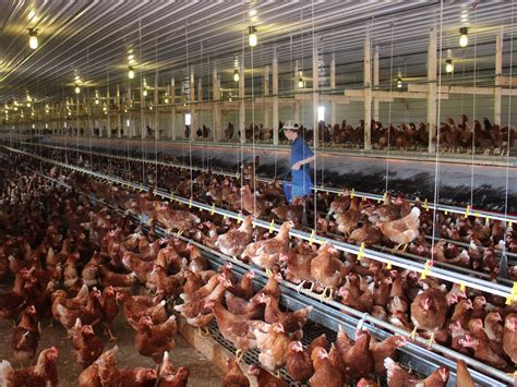 what is a cage free egg what the rise of cage free eggs means for chickens ncpr news