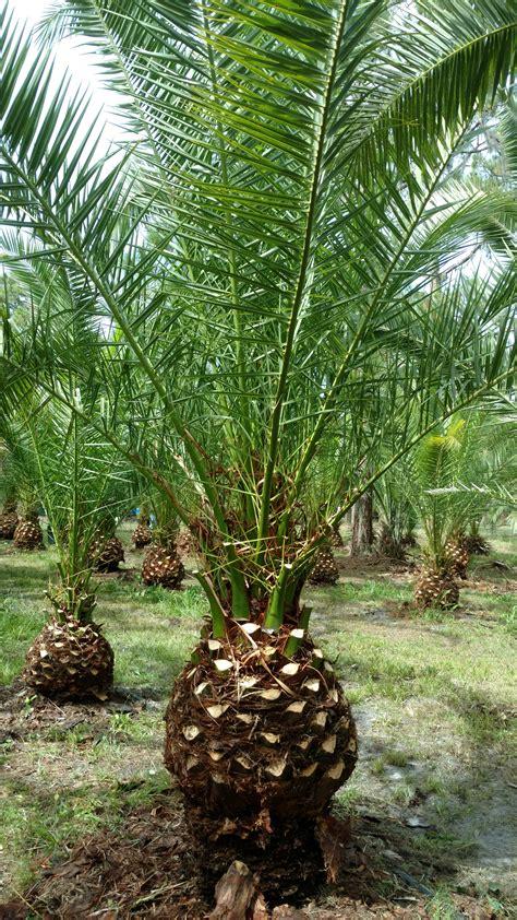 Canary Island Date Palm Tree Hardy Palm Tree Farm