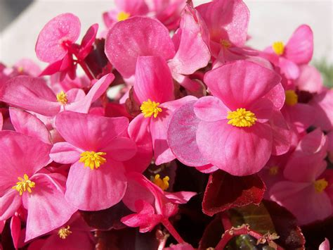 are begonias annuals begonia flowers