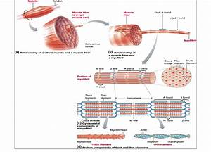 Structure Of Skeletal Muscle  From  Raven Et Al   82  Fig