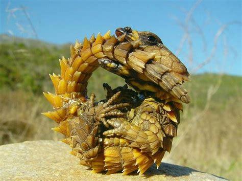Armadillo Girdled Lizard Photo