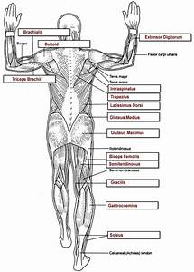 25 Best Images About Muscular Anatomy For Pilates On