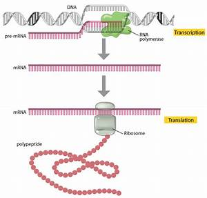 Translation  Dna To Mrna To Protein