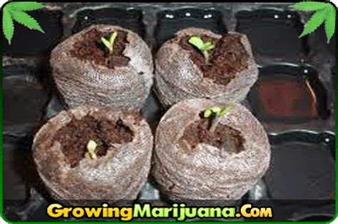 Growing Pot Plants From Seeds Germinatiing Seeds