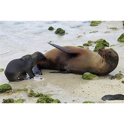 Galapagos Sea Lions – Feeding PosePhotos by Ravi